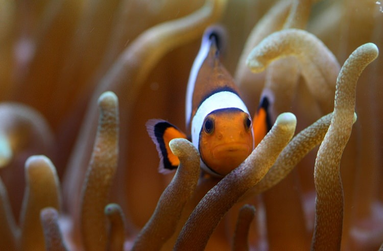 Amphiprion ocellaris : poissons clown